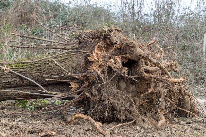 被连根拔的结构树 免版税图库摄影