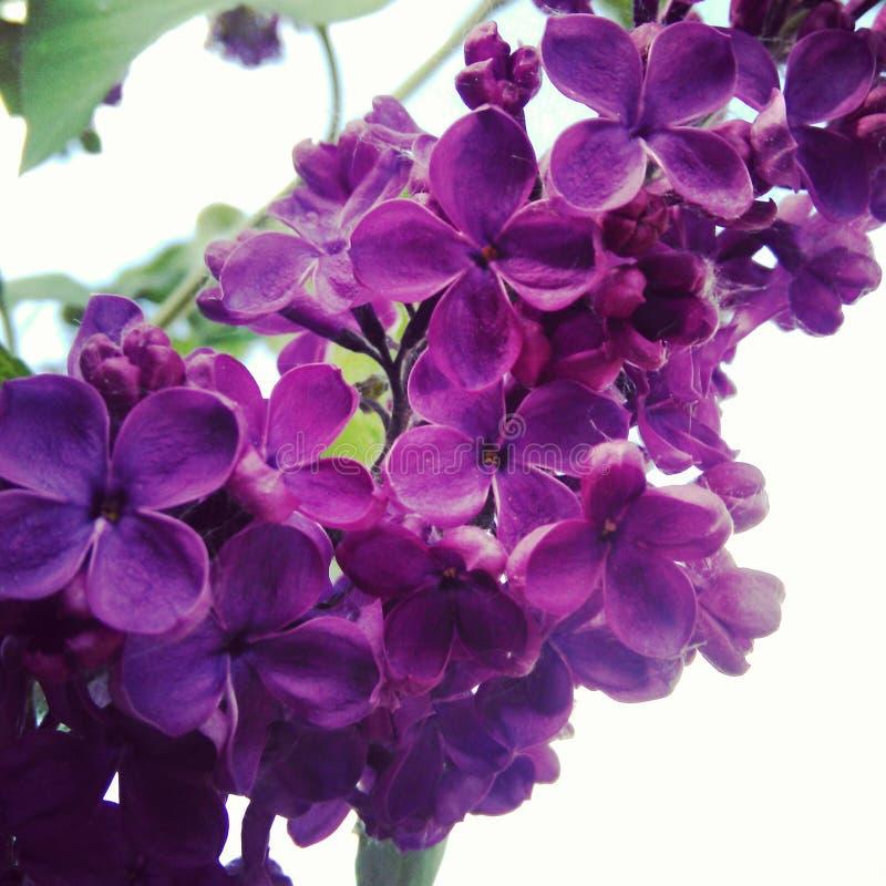 丁香色月天_在5月被遣散以轻的天空为背景紫罗兰色芬芳丁香的大四有叶的花