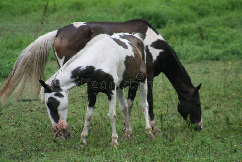 被配对的马在密苏里2019年 库存图片