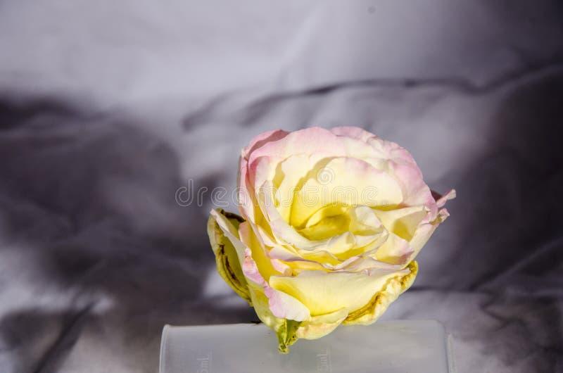 被采摘的一朵白色桃红色黄色玫瑰 库存图片