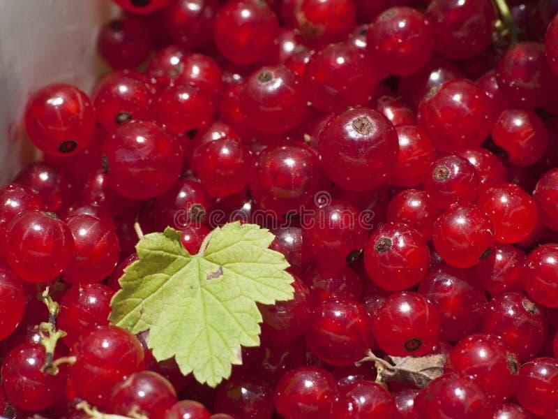 被采摘的红浆果 免版税库存照片