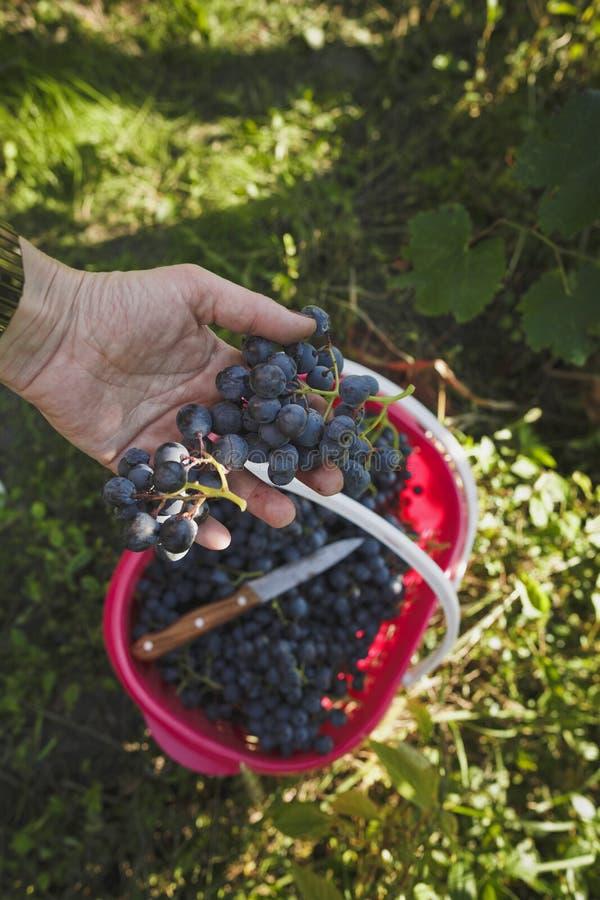 被采摘的葡萄在手中 免版税库存图片