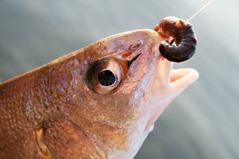 被钩的鱼 免版税库存图片