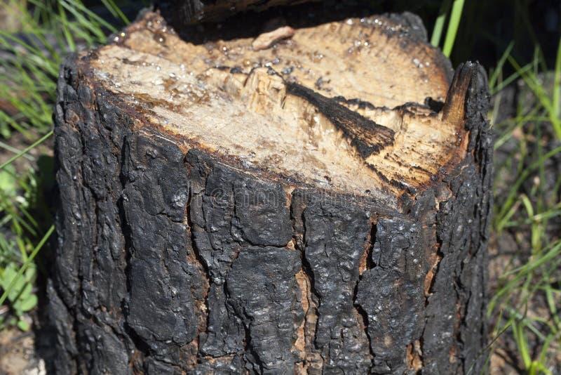 被锯的杉树 免版税库存照片