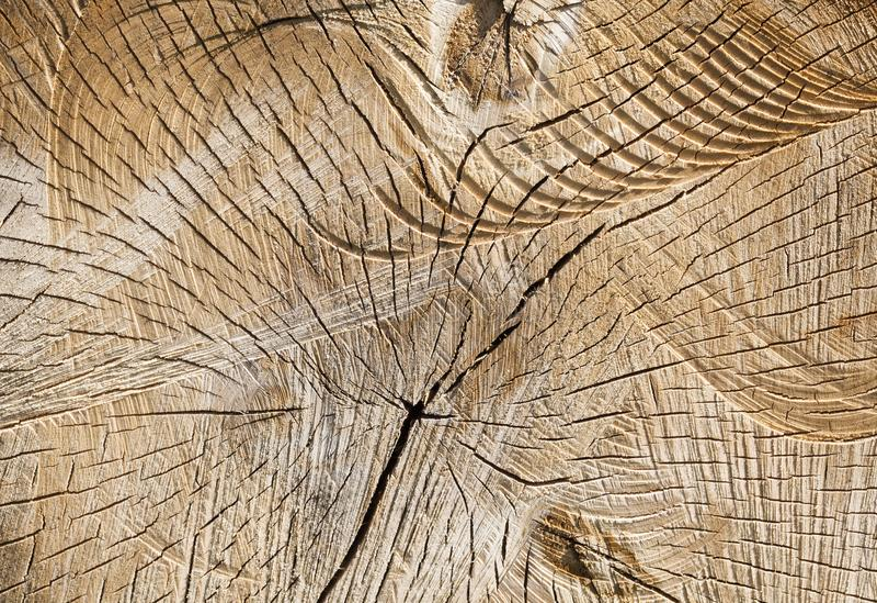 被锯的树干桦树 免版税图库摄影