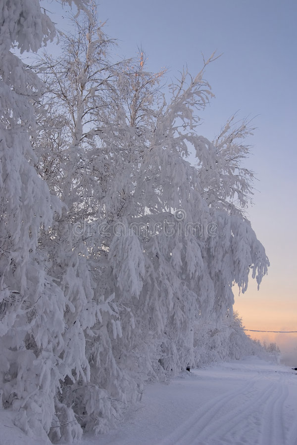 被限制的分行雪结构树 图库摄影