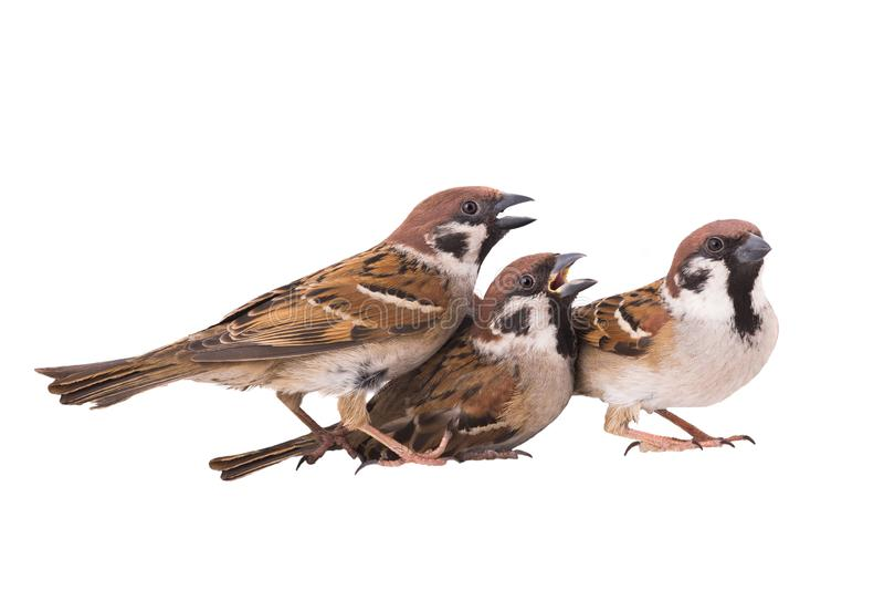 被隔绝的三只麻雀 图库摄影
