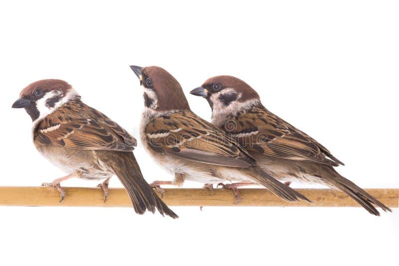 被隔绝的三只麻雀 库存图片