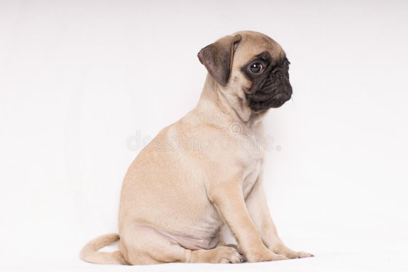 被隔绝的严肃狗哈巴狗画象坐背景-在边的文本空间 库存照片