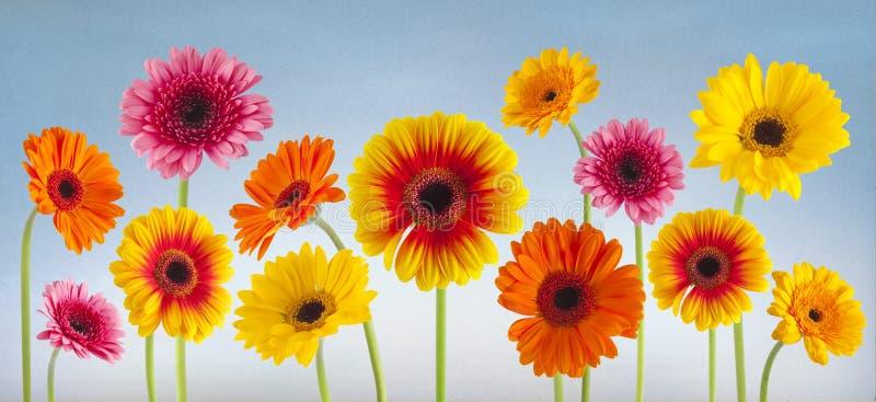 被隔绝的五颜六色的大丁草花 免版税图库摄影