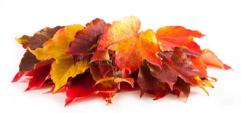 被隔绝的五颜六色的红色和黄色秋叶 免版税库存图片