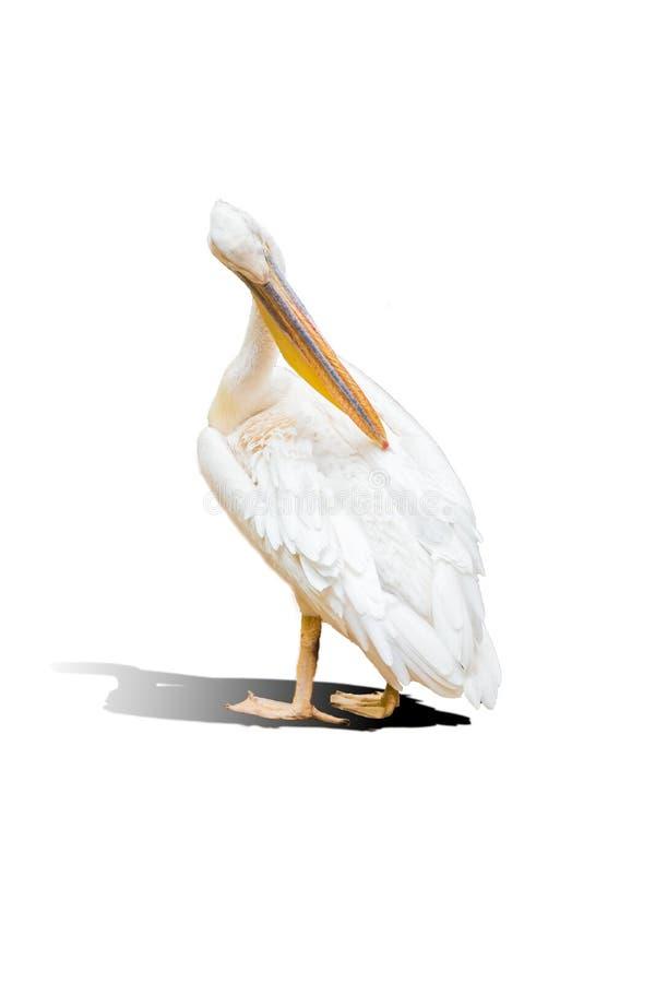 被隔绝的伟大的白色鹈鹕 免版税库存照片