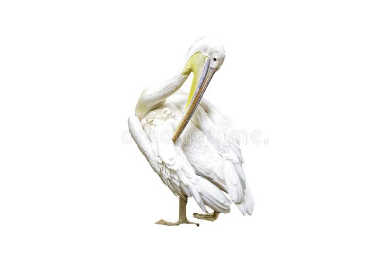 被隔绝的伟大的白色鹈鹕 图库摄影