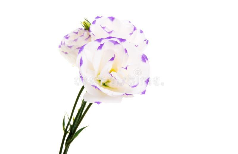 被隔绝的南北美洲香草花 库存照片