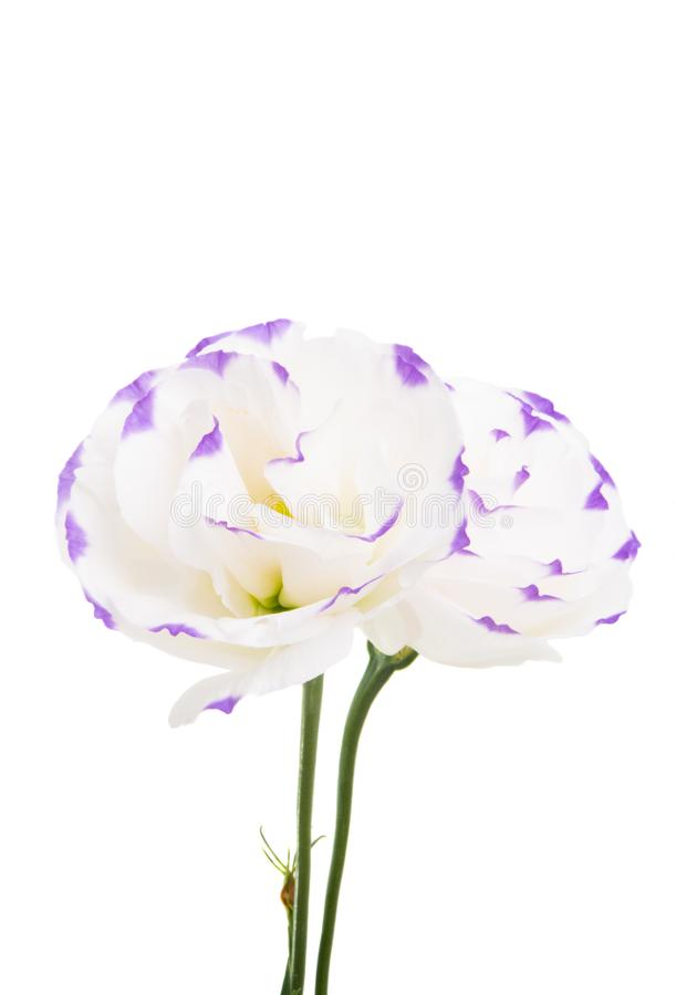 被隔绝的南北美洲香草花 免版税图库摄影