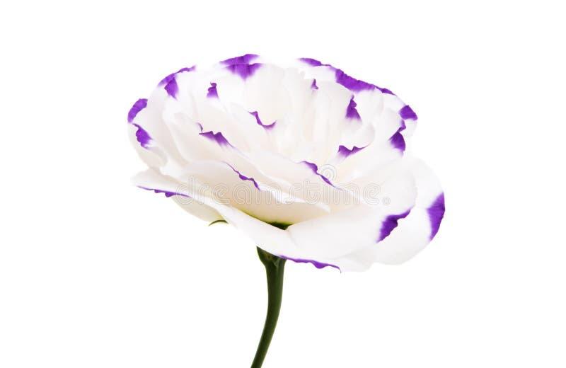 被隔绝的南北美洲香草花 库存图片