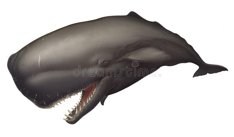 被隔绝的大抹香鲸现实例证 库存照片