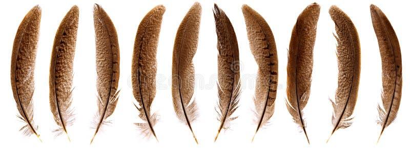 被隔绝的套美丽的易碎的野鸡鸟羽毛 库存图片