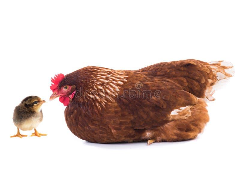 被隔绝的布朗母鸡和小鸡 免版税图库摄影