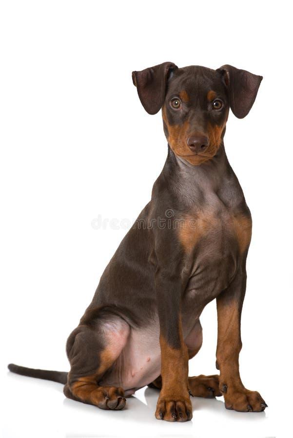 被隔绝的德国短毛猎犬小狗坐白色 免版税库存照片