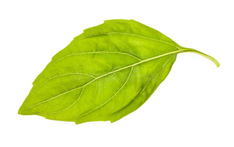 被隔绝的新鲜的绿色蓬蒿草本湿叶子  免版税库存图片
