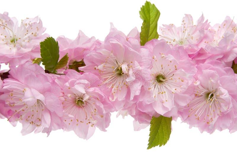 被隔绝的杏仁花 与桃红色花和绿色叶子的树枝在白色背景,特写镜头 免版税图库摄影