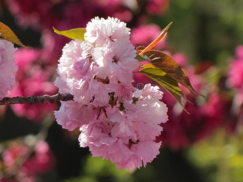 被隔绝的桃红色和白色樱花 库存照片
