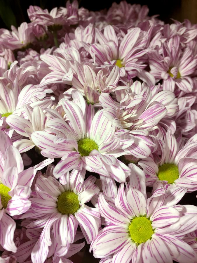 被隔绝的桃红色菊花 桃红色花美丽的花束在黑背景的 免版税库存照片