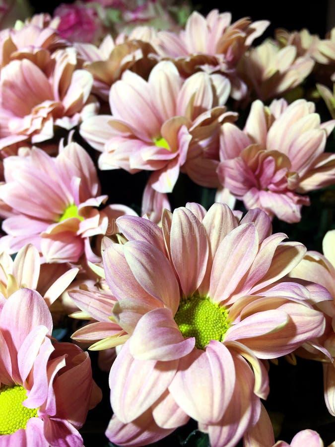 被隔绝的桃红色菊花 桃红色花美丽的花束在黑背景的 库存图片