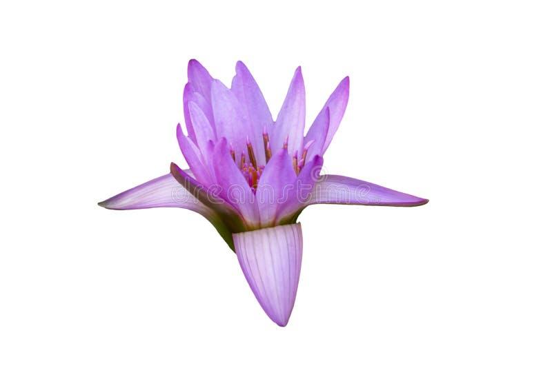 被隔绝的桃红色,紫色开花waterlily,开花的莲花,与剪报的开花的荷花 库存照片