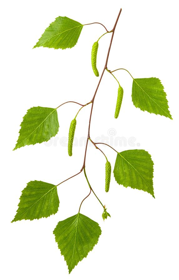 被隔绝的桦树 与新鲜的春天绿色叶子和在白色背景隔绝的花耳环的桦树分支 库存照片