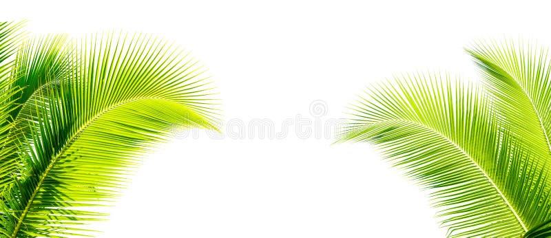 被隔绝的棕榈树绿色cocount叶子 库存图片