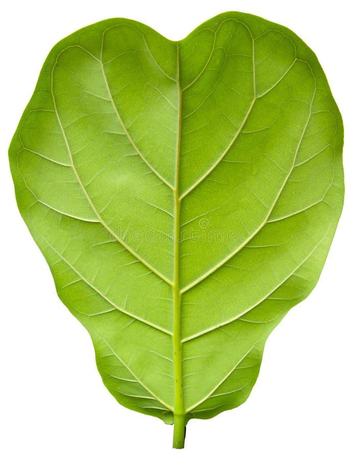 被隔绝的榕属竖琴似叶子 免版税库存照片