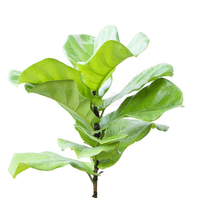 被隔绝的榕属竖琴似叶子 免版税库存图片