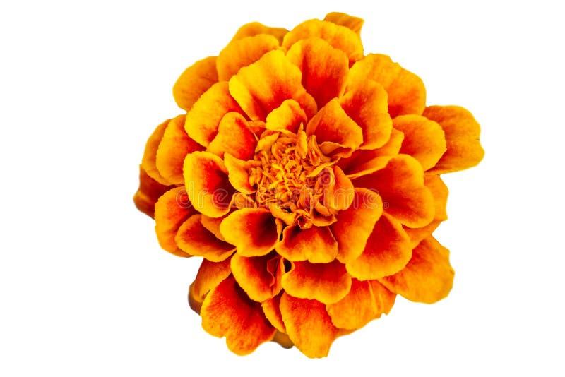 被隔绝的橙色万寿菊花 库存照片