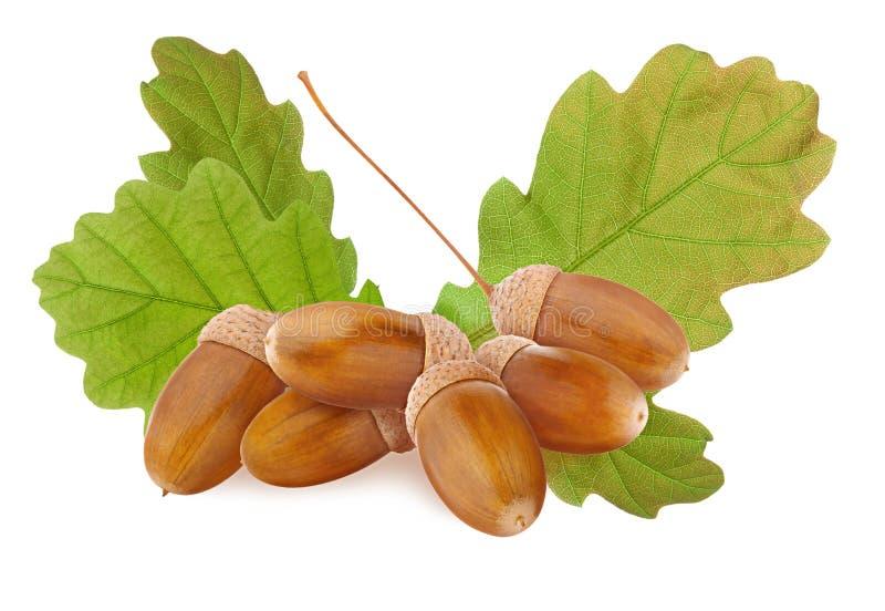 被隔绝的橡子 小小组成熟棕色橡子和绿色在白色背景删去和隔绝的橡树叶子 库存照片