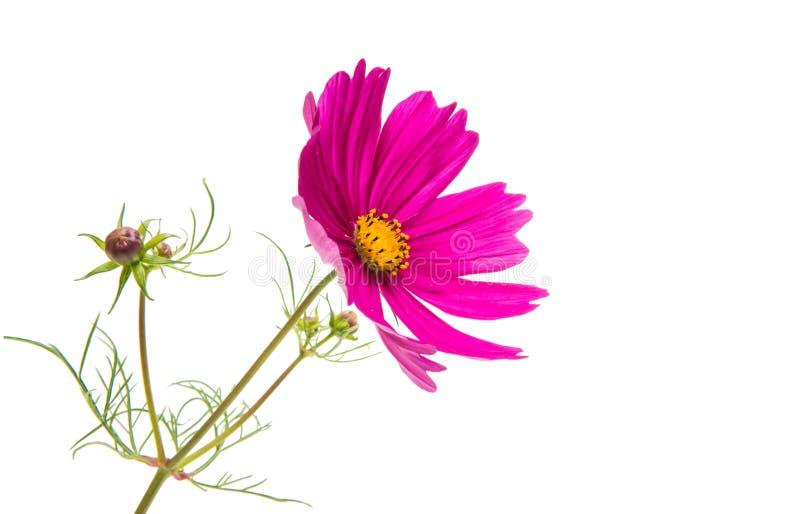 被隔绝的波斯菊的花 库存图片