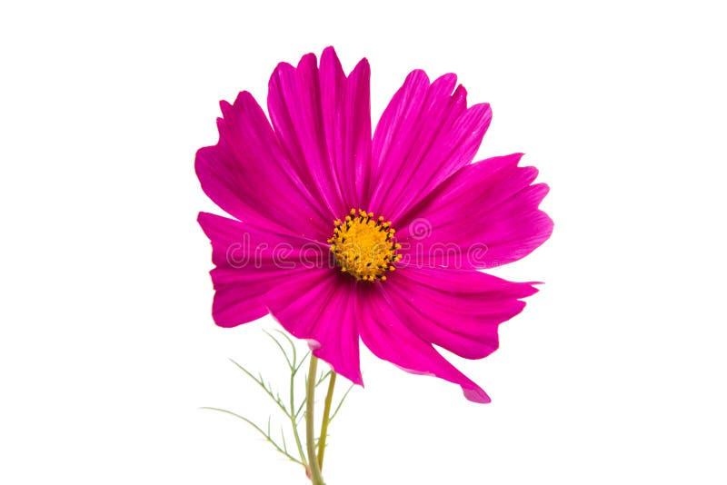 被隔绝的波斯菊的花 免版税库存照片