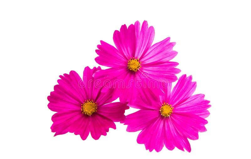 被隔绝的波斯菊的花 库存照片