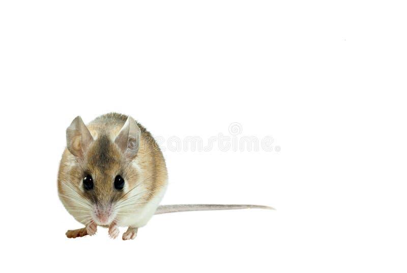 被隔绝的淡黄色多刺的老鼠 库存照片