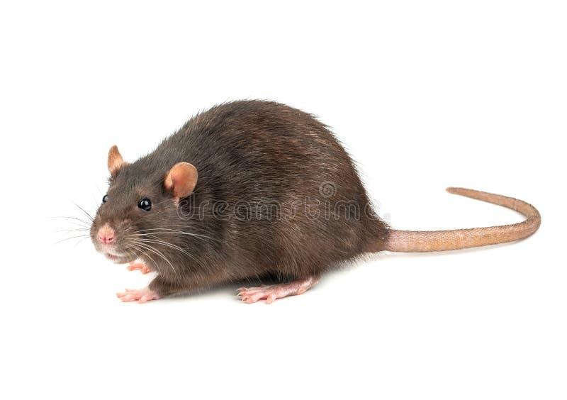 被隔绝的灰色鼠 库存图片