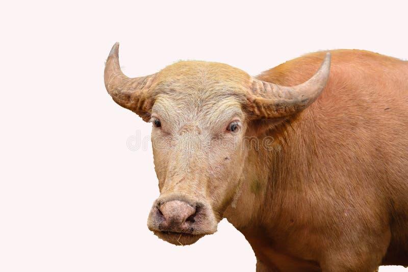 被隔绝的白变种水牛 免版税库存图片