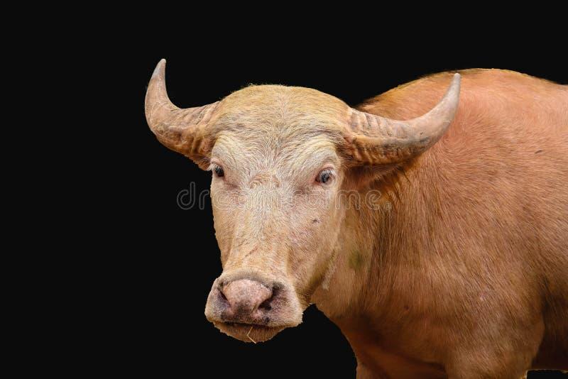 被隔绝的白变种水牛 库存照片