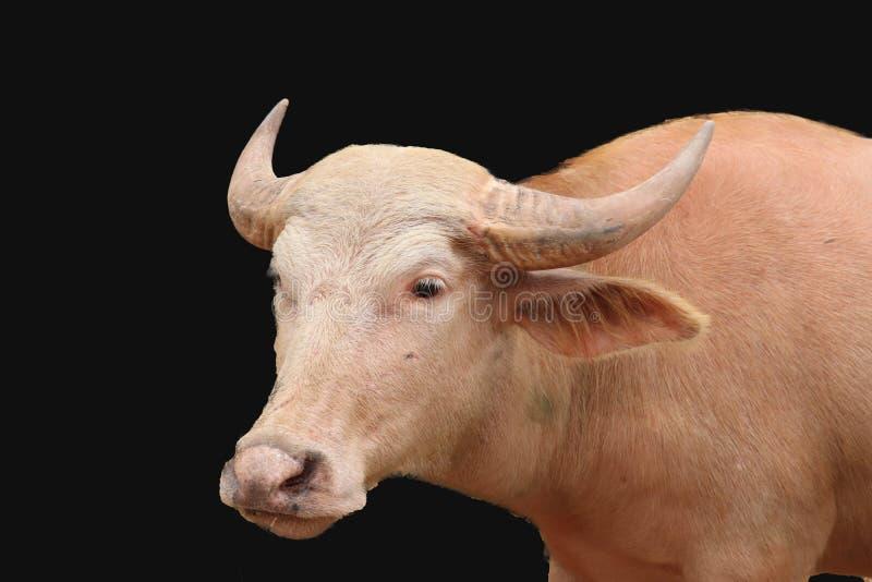 被隔绝的白变种水牛 免版税图库摄影