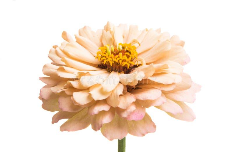 被隔绝的百日菊属花 免版税库存照片