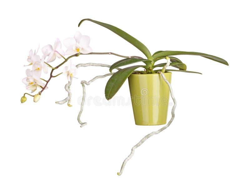 被隔绝的盆,开花的兰花植物兰花植物 图库摄影