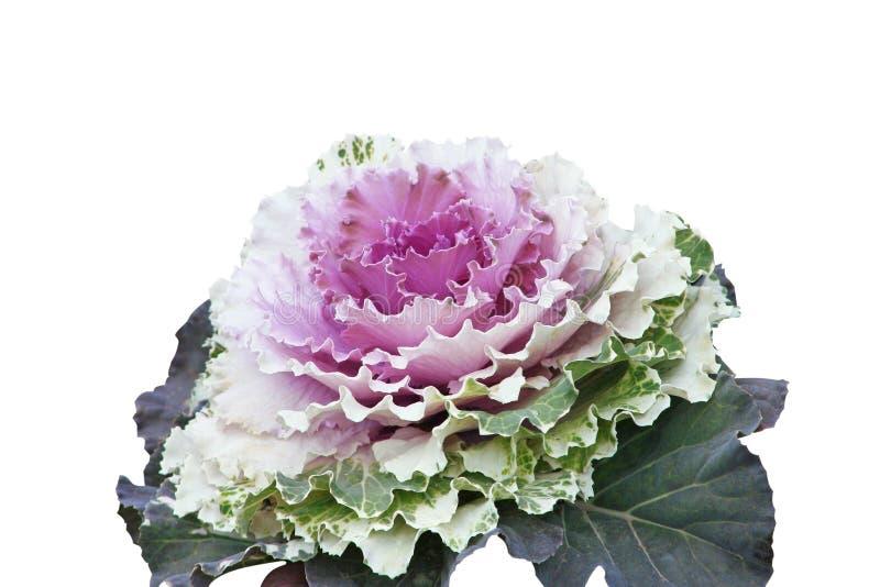 被隔绝的紫色圆白菜芸苔,菜叶子 免版税库存图片