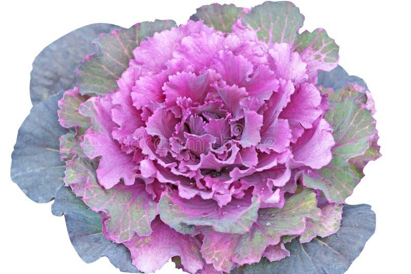 被隔绝的紫色圆白菜芸苔,菜叶子 库存照片