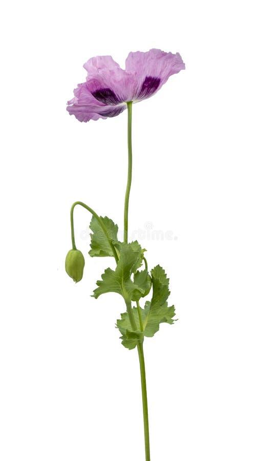 被隔绝的紫色鸦片 库存图片