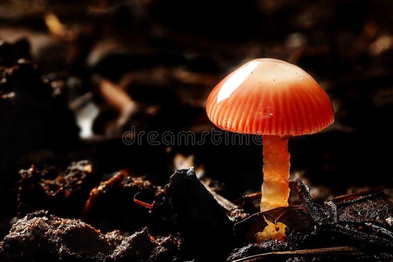 被隔绝的红色潮湿蘑菇黑暗的背景宏观摄影  免版税图库摄影